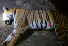 Tigress Avni, suspected to have killed 14, shot dead