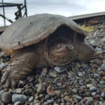Turtles to crayfish, Japan decides to eat into its problem of heavy breeding