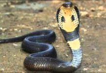 19-feet long King cobra