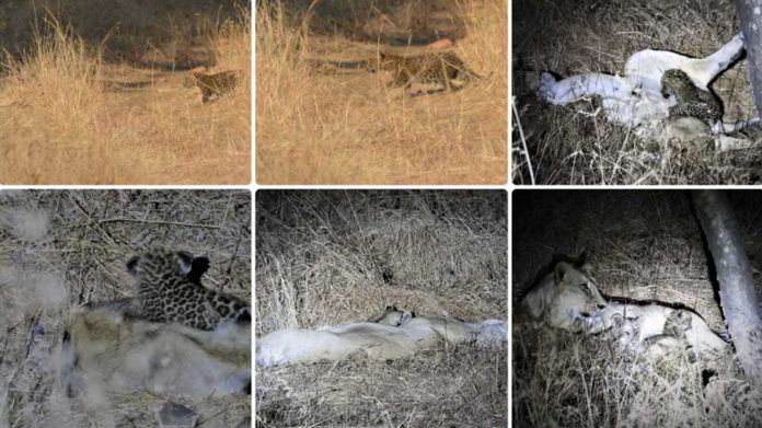 The Jungle Book of Gujarat Lioness adopts leopard cub, treats it as its own in Gir forest
