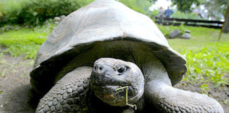 Fernandina tortoise, presumed to be extinct, spotted for the first time in over a century